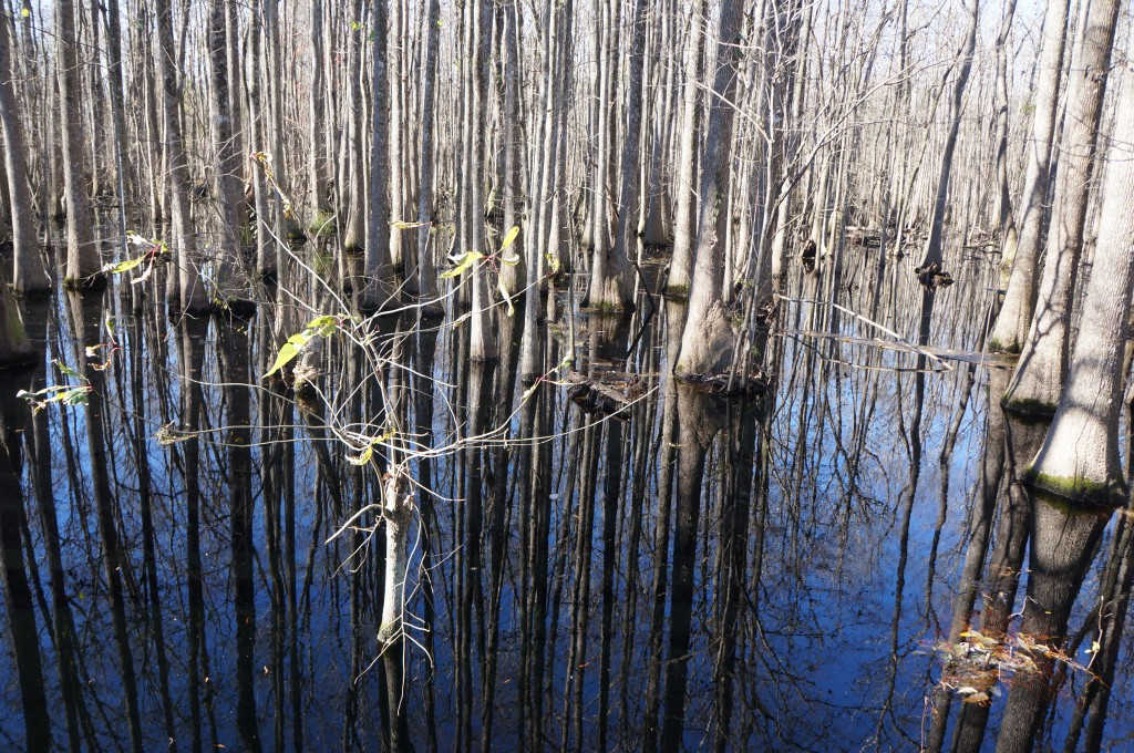 Trees in the swamp water