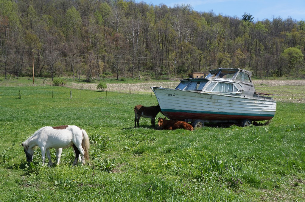 The most wonderful sight of our second day right: cows, ponies, and a boat.