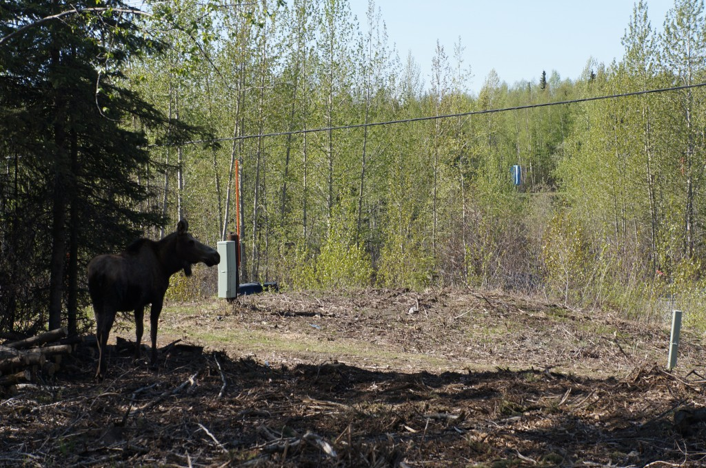 Caution, Moose crossing! Our very first large animal siting.