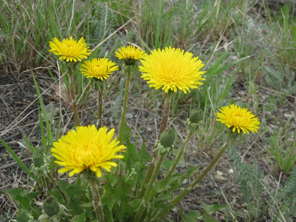 Horned Dandelion (Sunflower family). These are slightly different than the ones that probably grow in your yard!