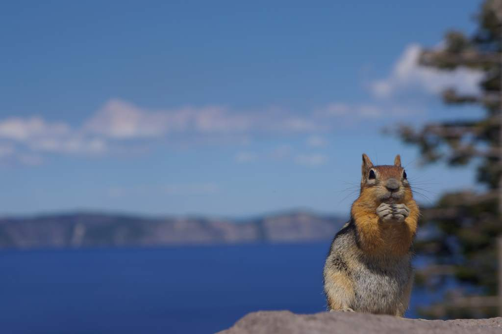 Oregonian Chipmunk.