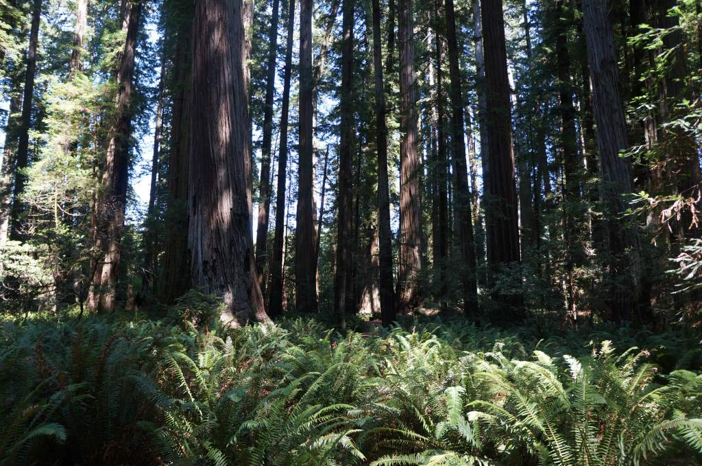 Stout Grove in Jedidiah Smith Redwoods State Park
