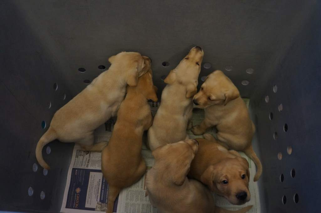 Future guide dogs for the blind.  Oh how I wanted to take one and raise it!