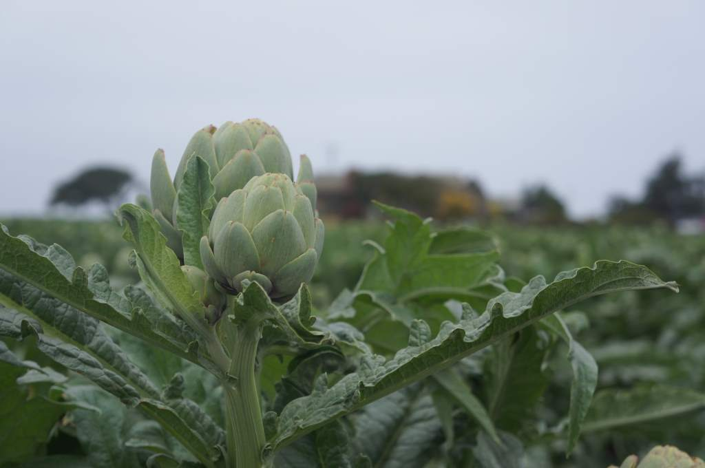 Artichoke plants!  They are really flowers.