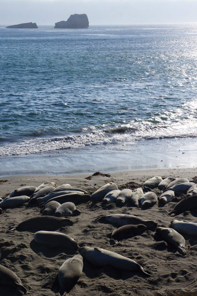 Lazy elephant seals.