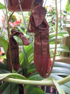 Carnivorous plants.  Careful for your fingers.