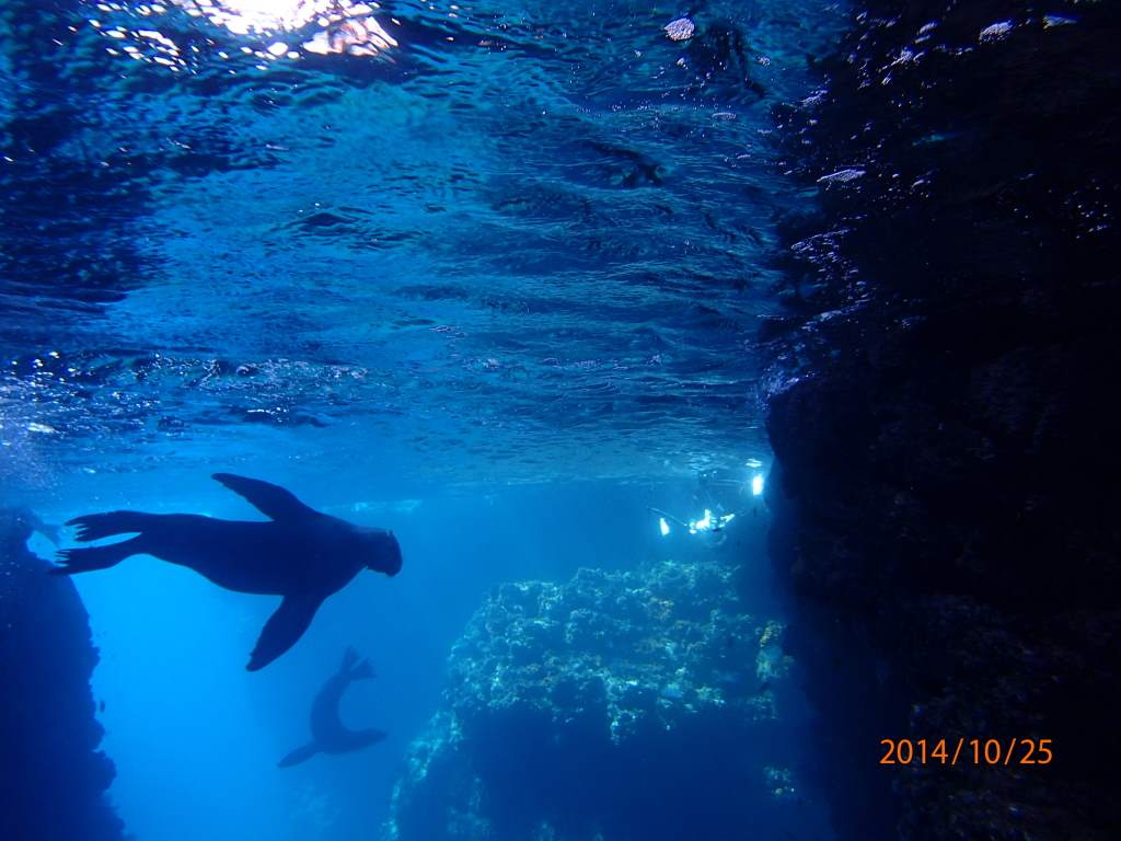 Multiple sea lions frolicking under in a deep water area.