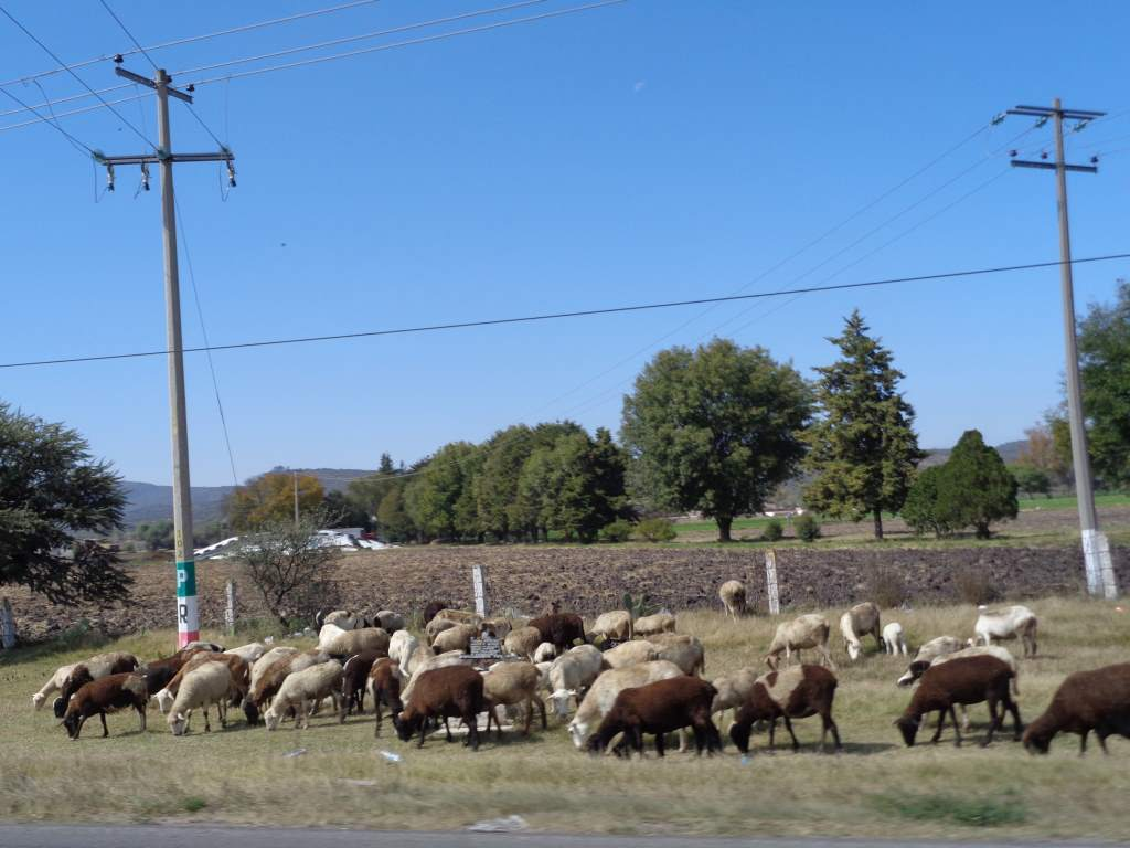 Sometimes we shared the road with livestock