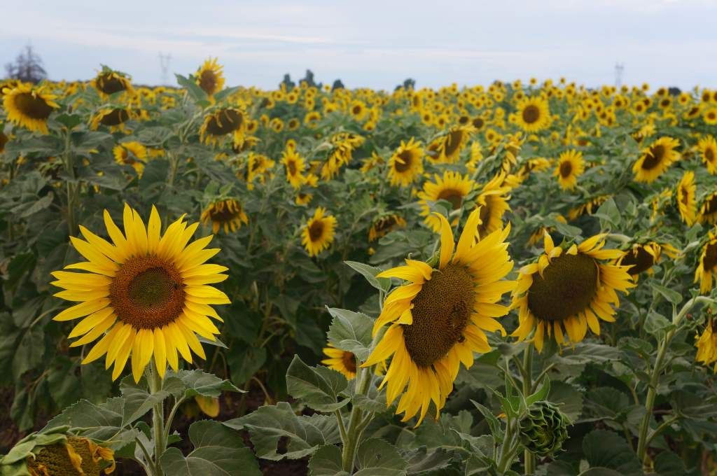 A field of sunflowers brightened a day otherwise filled with a frustrating headwind.