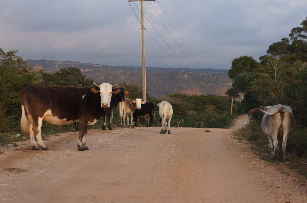 Cattle (almost) blocking the road