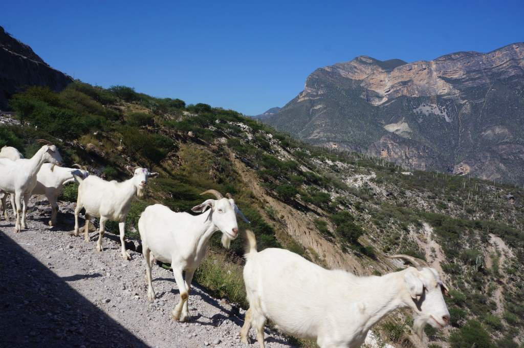 Although there is little human settlement, there is enough for goats to be found!
