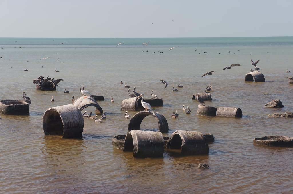 These discarded cement circles were havens for the pelicans.