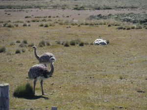 A couple of Rheas - essentially a Patagonian ostrich.