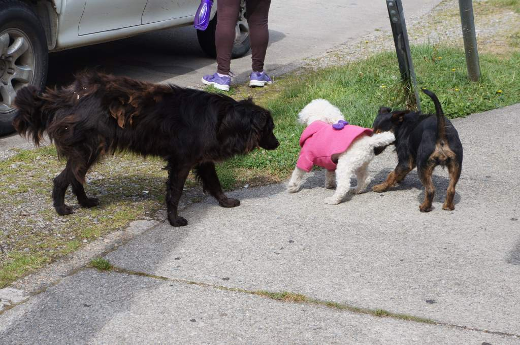 Village dogs meet prissy sweater dog.