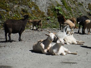 We had to interrupt the goat party hour on the way to Tortel.