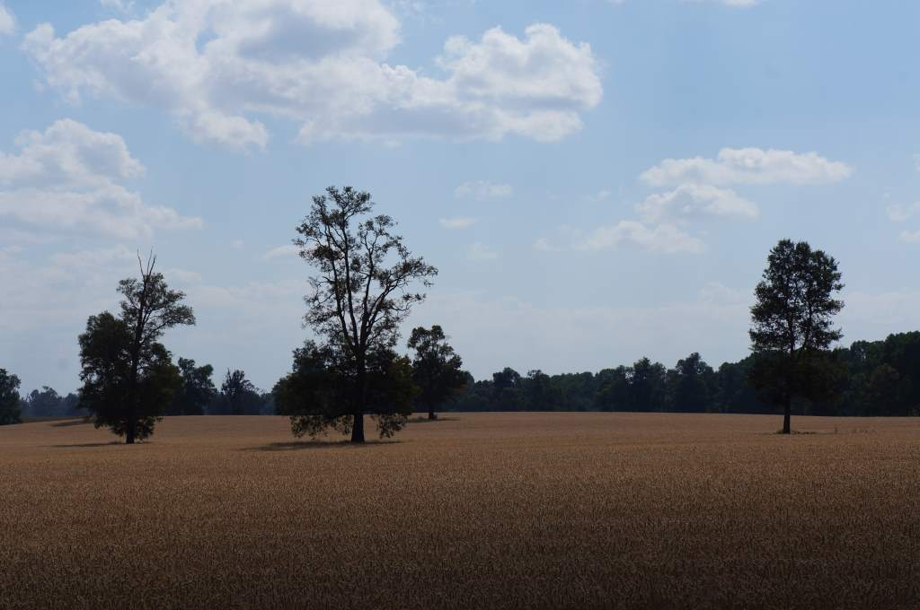 Field of wheat with a big sky