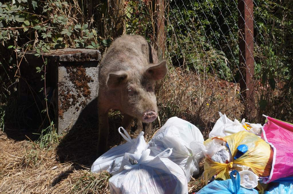 This pig loved the trash pile across the street from our campground.