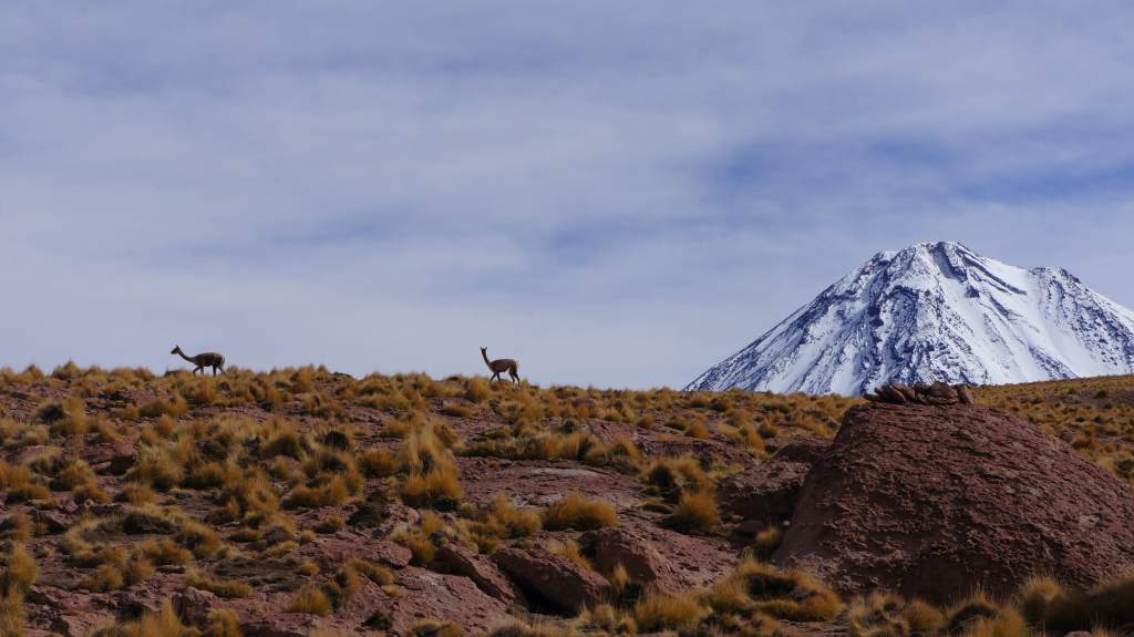 Vicunas (like llamas but wild) near the top of the climb.
