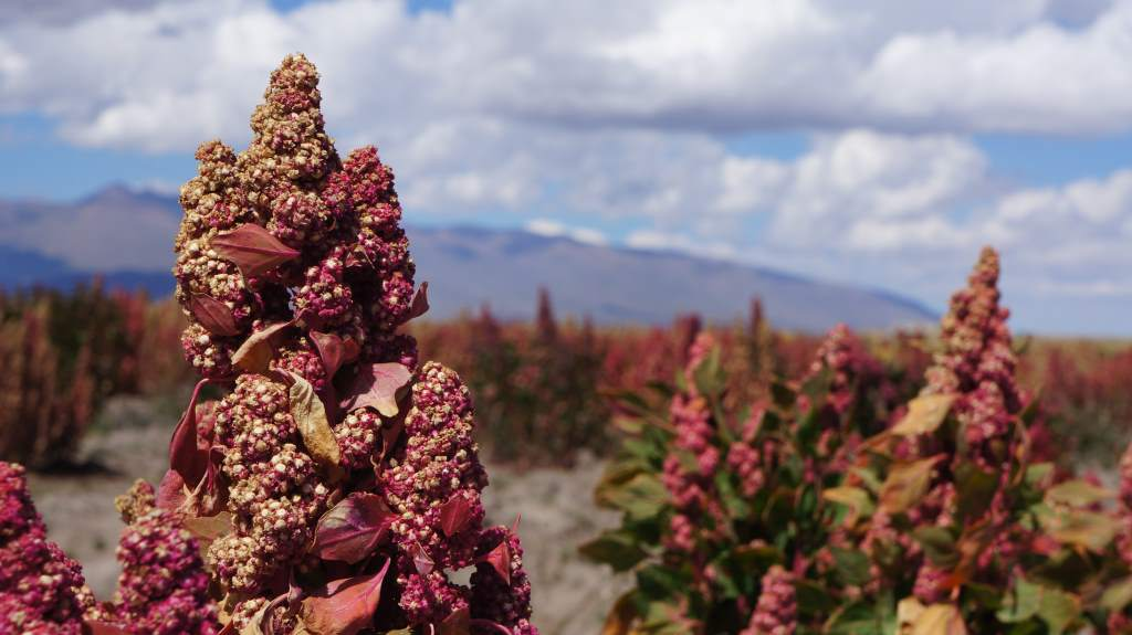 Quinoa, up close and personal.