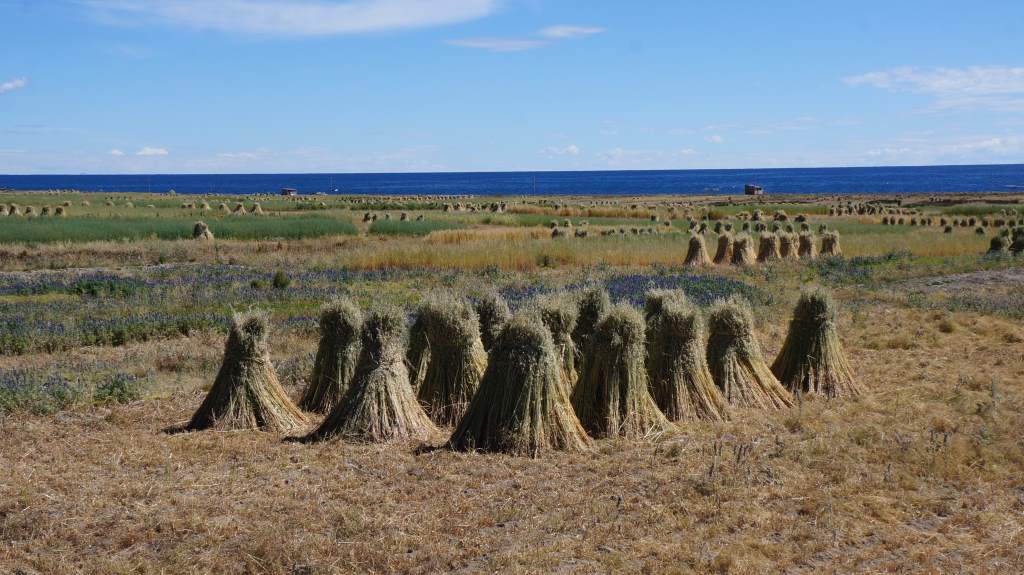 The wheat was cut and set to dry