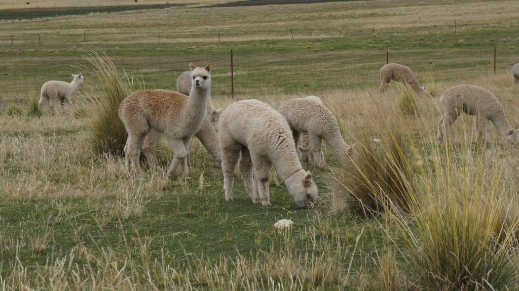 Alpacas along the road
