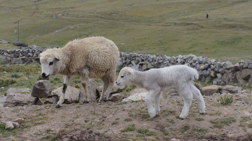 Baby lambs are really far cuter than expected.