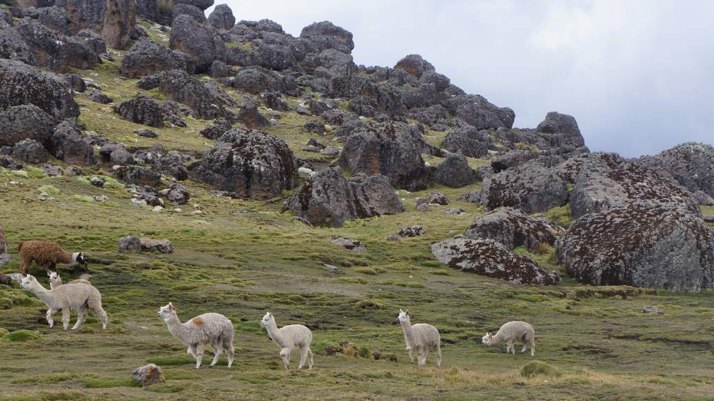 Alpacas in the high country