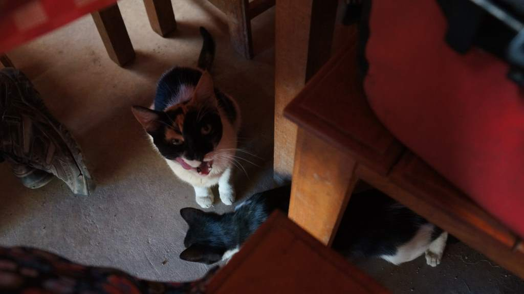 The first begging cats I've ever met.