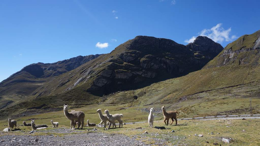 More llamas, and there were even cows up at 15000 feet!